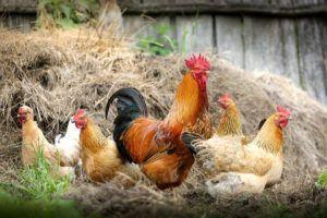 Økologiske høns
